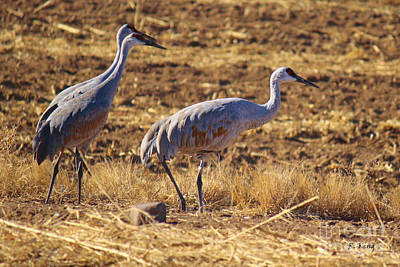 Photograph - Sandhill Cranes 2 by Roena King