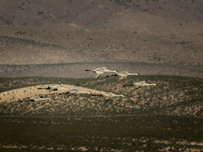 Photograph - Sandhill Cranes Against Hills by Jean Noren