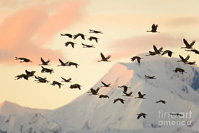 Sandhill Cranes And Mt Denali At Sunrise Art Print by Yva Momatiuk John Eastcott