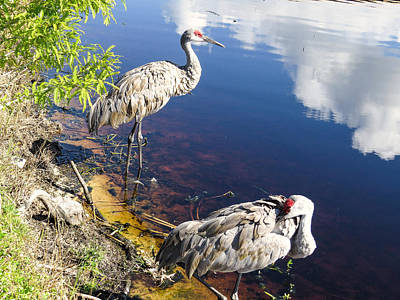 Sandhill Cranes At The Lake Art Print