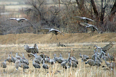 Biege Photograph - Sandhill Cranes by Bob Hislop