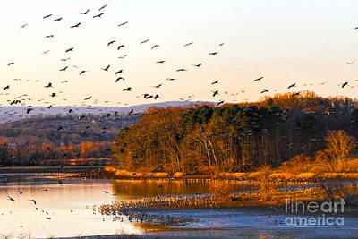 Photograph - Sandhill Cranes Coming In To Roost by Barbara Bowen