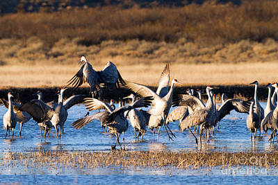 Cranes Dance For Joy Art Print