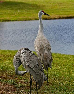 Photograph - Sandhill Cranes by Denise Mazzocco