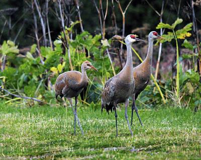 Feeding Photograph - Sandhill Cranes Feeding Behind Wasabi by Michel Hersen