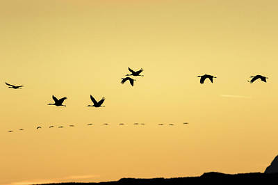 Sandhill Cranes Flying At Sunset Art Print by Maresa Pryor