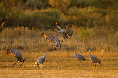 Gamebird Photograph - Sandhill Cranes (grus Canadensis by Larry Ditto