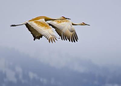Photograph - Sandhill Cranes In Flight by David Martorelli