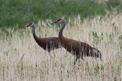 Photograph - Sandhill Cranes In The Field by Lucinda VanVleck