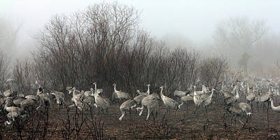 Sandhill Cranes In The Fog Art Print by Farol Tomson