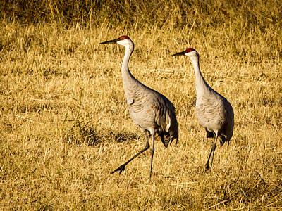 Photograph - Sandhill Cranes by Jean Noren