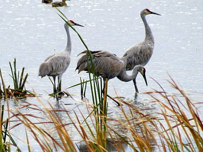 Photograph - Sandhill Cranes by Kay Novy
