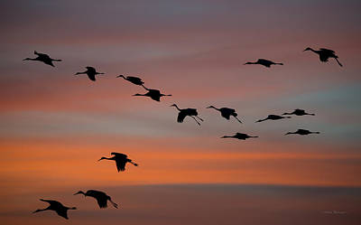 Sandhill Cranes Landing At Sunset Art Print