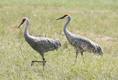 Lisa Williams Photograph - Sandhill Cranes by Lisa Williams