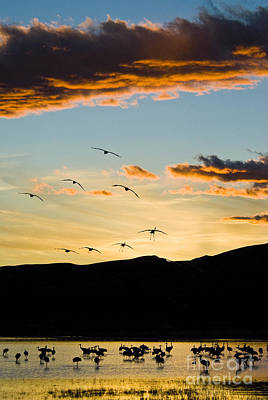 Sandhill Cranes In New Mexico Art Print by William H Mullins