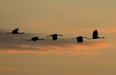 Sandhill Cranes Over Horicon Marsh Art Print