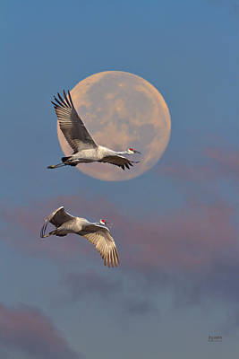 Photograph - Sandhill Cranes Passing The Moon In The Morning by Steven Llorca