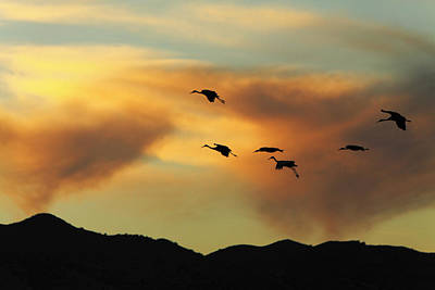 Photograph - Sandhill Cranes Return In Late Afternoon At Bosque Del Apache Wi by Alan Vance Ley