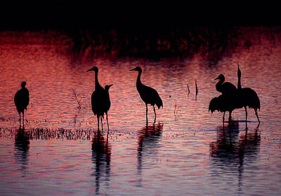 Photograph - Sandhill Cranes - Bosque Del Apache - New Mexico by Steven Ralser