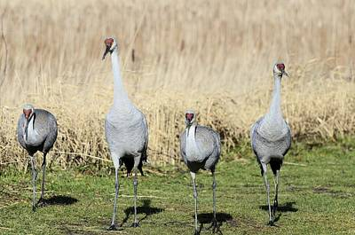 Photograph - Sandhill Cranes Street Gang by Lawrence Christopher