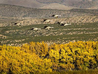 Photograph - Sandhill Cranes Taking Flight by Jean Noren