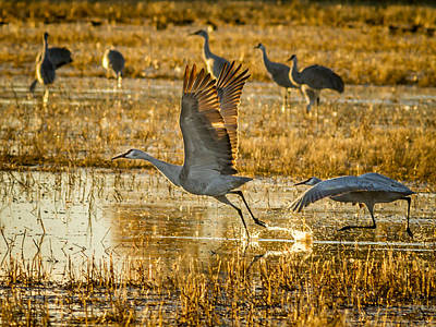 Photograph - Sandhill Cranes Taking Off by Jean Noren