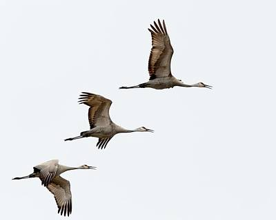 Photograph - Sandhill Cranes by Walt Sterneman