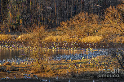 Photograph - Sandhill Cranes Wintering In Tennessee by Barbara Bowen