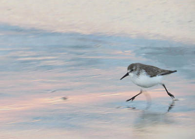 Photograph - Sandpiper 1 by Nina Donner