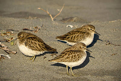Photograph - Sandpiper Days by Jon Exley