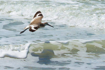 Photograph - Sandpiper Flight by Susan Molnar