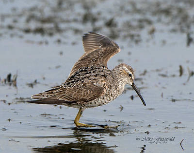 Photograph - Sandpiper On Stilts by Mike Fitzgerald