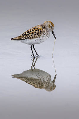 Photograph - Sandpiper Pull by Sonya Lang