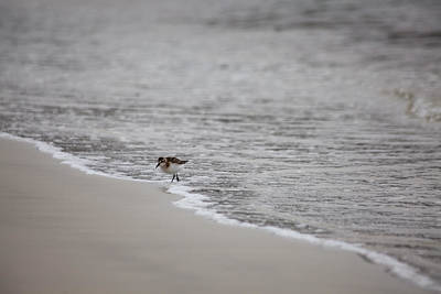 Photograph - Sandpiper Shore by Karol Livote