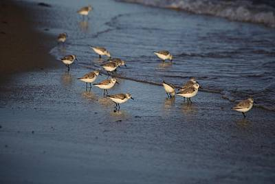 Sandpipers 5 Art Print by Allan Morrison