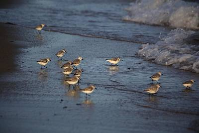 Kitchen Mark Rogan - Sandpipers 7 by Allan Morrison