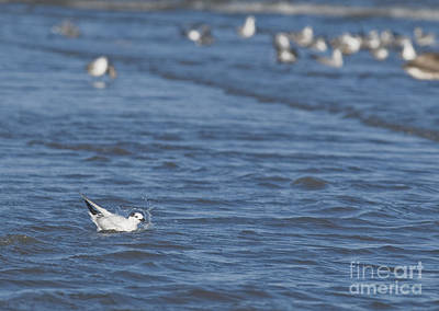 Photograph - Sandwich Tern by Dan Suzio