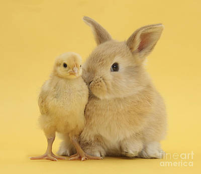 Photograph - Sandy Rabbit And Bantam Chick by Mark Taylor
