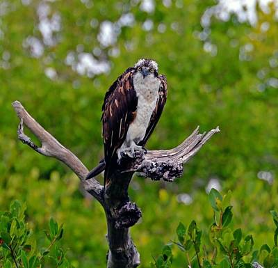 Sports Royalty-Free and Rights-Managed Images - Sanibel Osprey by David Tennis