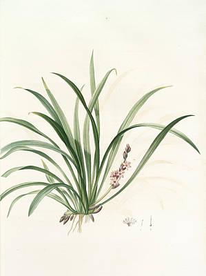 Sansevieria Carnea, Reineckia Carnea, Redouté Print by Artokoloro