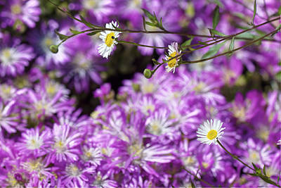 Photograph - Santa Barbara Daisies In Ice Plant by SC Heffner