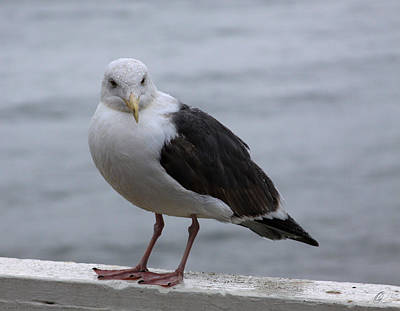 Photograph - Santa Cruz Gull by Chris Thomas