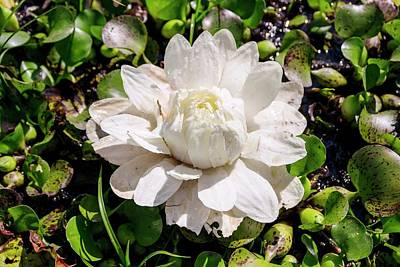 Santa Cruz Water Lily (victoria Cruziana) Art Print by Paul Williams