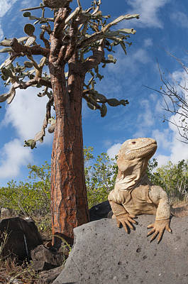 Land Iguana Photograph - Santa Fe Land Iguana And Opuntia by Tui De Roy