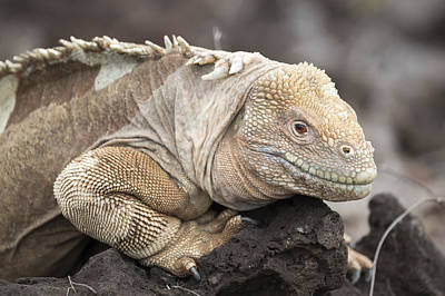 Land Iguana Photograph - Santa Fe Land Iguana Galapagos by Tui De Roy