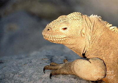 Photograph - Santa Fe Land Iguana by Liz Leyden