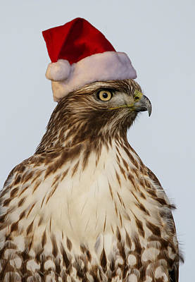 Red Tail Hawks Photograph - Santa Hawk by Angie Vogel