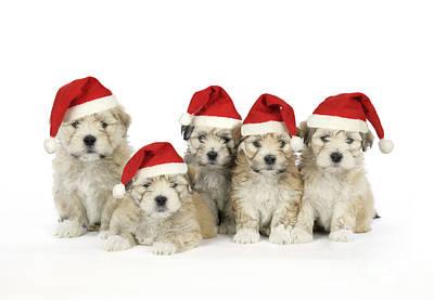 Shih Tzu Wall Art - Photograph - Santa Puppy Dogs by John Daniels