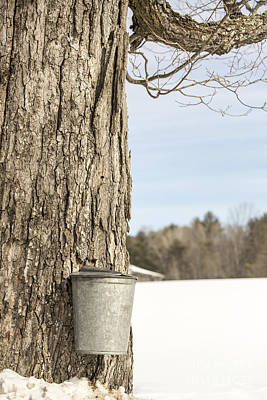 Sap Bucket On Maple Tree Art Print by Edward Fielding
