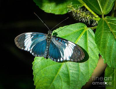 Photograph - Sapho Longwing Butterfly by Grace Grogan